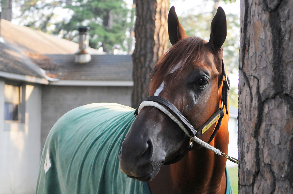 Description of . On the Oklahoma Training Track, Golden Soul is walked outside his barn by groom Albeno Mata. Trainer Dallas Stewart is set to run in the Travers this Saturday at the Saratoga Race Course.Photo Erica Miller/The Saratogian 8/20/13 GoldenSoul1
