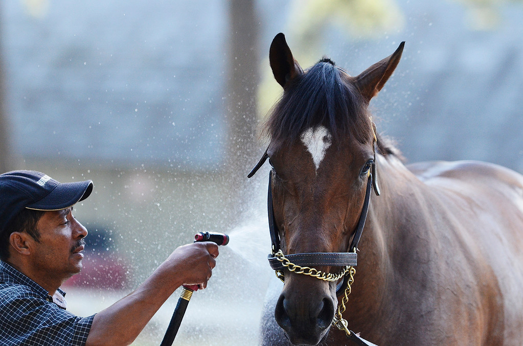 Description of . Moreno, trained by Eric Guillot, on Saturday morning at the Oklahoma Track on the Saratoga Race Course, set to run in the Travers. Photo Erica Miller 8/17/13 Moreno5