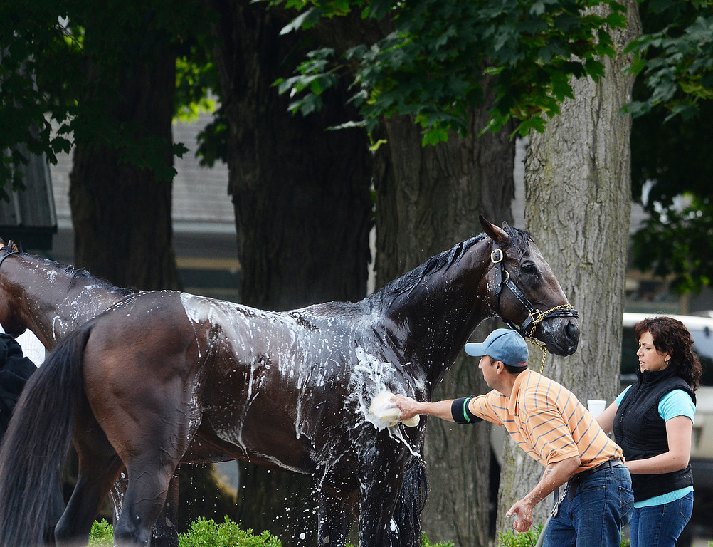 Description of . Kentucky Derby winner Orb Aug 19, 2013 after his final major work on the Oklahoma Training Center track in Saratoga Springs, N.Y. Orb will compete in Saturday's Travers Stakes at the Saratoga Race Course.Photo Erica Miller/The Saratogian 8/19/13 Orb9