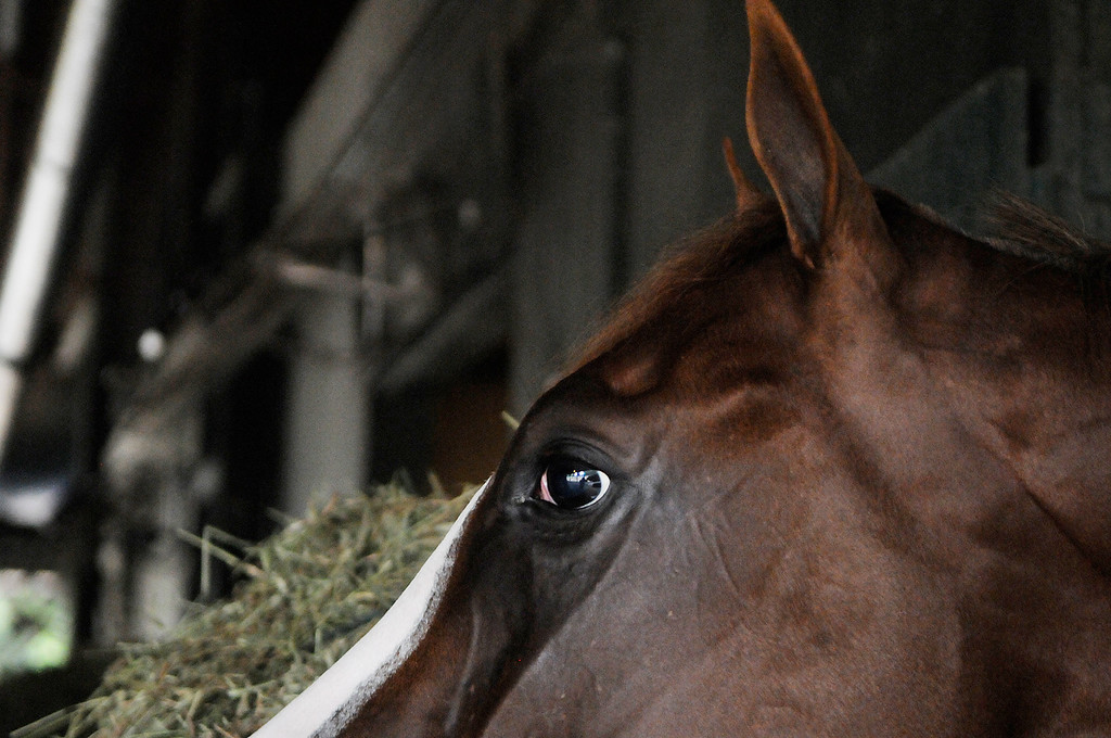 Description of . On the Oklahoma Training Track, Will Take Charge in his stall at D. Wayne Lucas's barn. Set to run in the Travers this Saturday at the Saratoga Race Course.Photo Erica Miller/The Saratogian 8/20/13 WillTakeCharge2