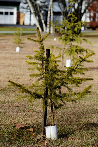Erica Miller @togianphotog - The Saratogian     Almost one year after the Sandy Hook Elementary School tragic shooting in Newtown Conn. Under the direction of Wilton Highway Superintendent Kirklin Woodcock, the highway department has planted 26 spruce trees, which were donated by the Town, and a perennial garden, donated by Hewitt's Garden Centers. This ceremony will be held on Town park land at the corner of Ho Hum Lane and Meditation Way, off of Carr Road. A plaque memorializing the twenty school children and six adult staff members was donated by Saratoga Trophy.    SAR-l-TreesSandy1