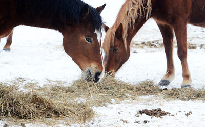 Erica Miller @togianphotog - The Saratogian:  Duane Carpenter, owner of the property on Wilton/Greenfield Road, some of their dozen horses feeding in Greenfield. The property has been in a long term neglect case for over 3 years. Carpenter is the brother of Ann Arnold, the previous owner.