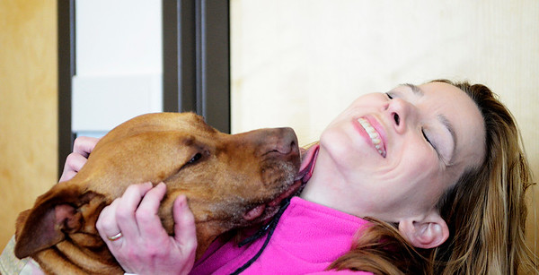 Erica Miller @togianphotog - The Saratogian:    Volunteer Kristina Kline with Momma at the Saratoga Animal Shelter on Thursday morning, April 17th, 2014. Momma was rescued one year ago Saturday, from a drug raid in Saratoga Springs on Grand Ave.