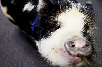 Erica Miller @togianphotog - The Saratogian.   On Wednesday morning, the day before Thanksgiving 11/27/13, Mike Fitzgerald spoke inside his store in Clifton Park at Saratoga Sweets. The stores mascot are the two adorable kunekune pigs from New Zealand named Charlie, not shown, and Clyde.   SAR-l-SarSweetPigs5