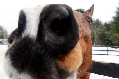 Erica Miller @togianphotog - The Saratogian,    At Cabin Creek on Friday afternoon, Jan. 31 2014, Watchem Smokey sits outside in his pen. Cabin Creek is a part of the Old Friends organization for saving retired race horses,