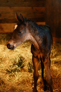 Erica Miller @togianphotog  - The Saratogian:  At the Summit View Farm in Greenwich, Glenn diSanto's farm a one week old baby colt, sired by Here Comes Ben, and Mare Found My Dream. Three babies are nestled in the farm.