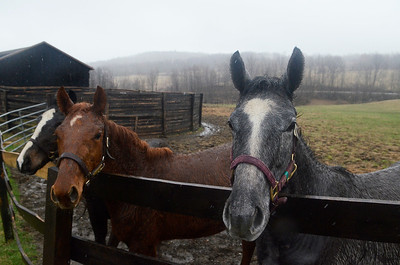 Erica Miller @togianphotog  - The Saratogian:  At the Summit View Farm in Greenwich, Glenn diSanto's farm three energetic one year horses played in the rain.  Three babies are nestled in the farm from one week to two weeks old.