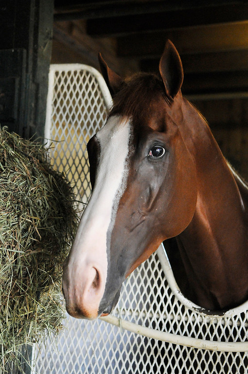 . On the Oklahoma Training Track, Will Take Charge in his stall at D. Wayne Lucas\'s barn. Set to run in the Travers this Saturday at the Saratoga Race Course.Photo Erica Miller/The Saratogian 8/20/13 WillTakeCharge3